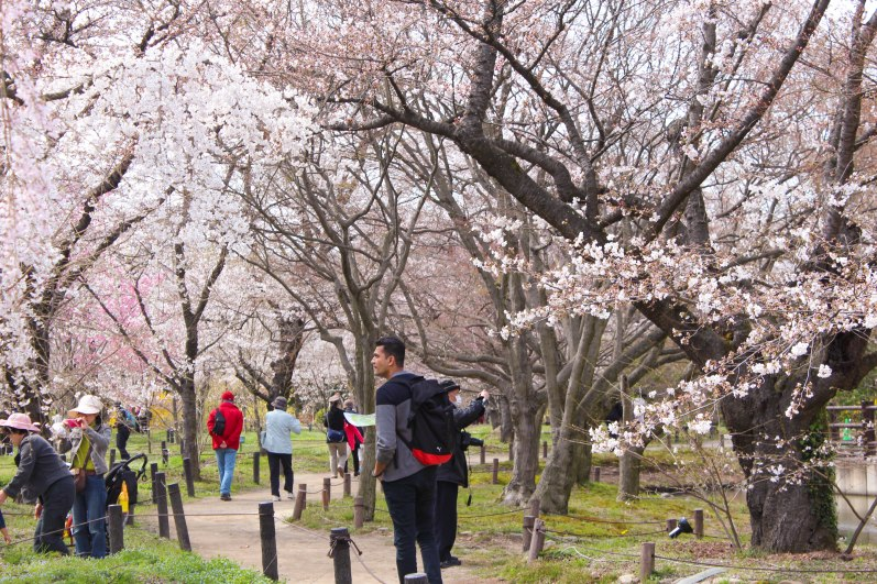 Locals (and us) enjoying cherry blossoms at the Kyoto Botanical Gardens