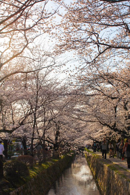 Sakuras lining philosopher's path in Kyoto