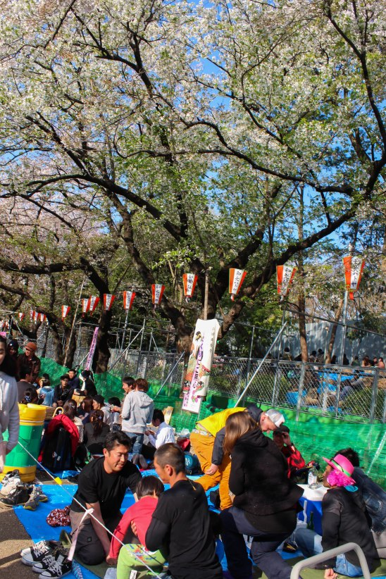 Picnicking under the sakura trees in Ueno Park