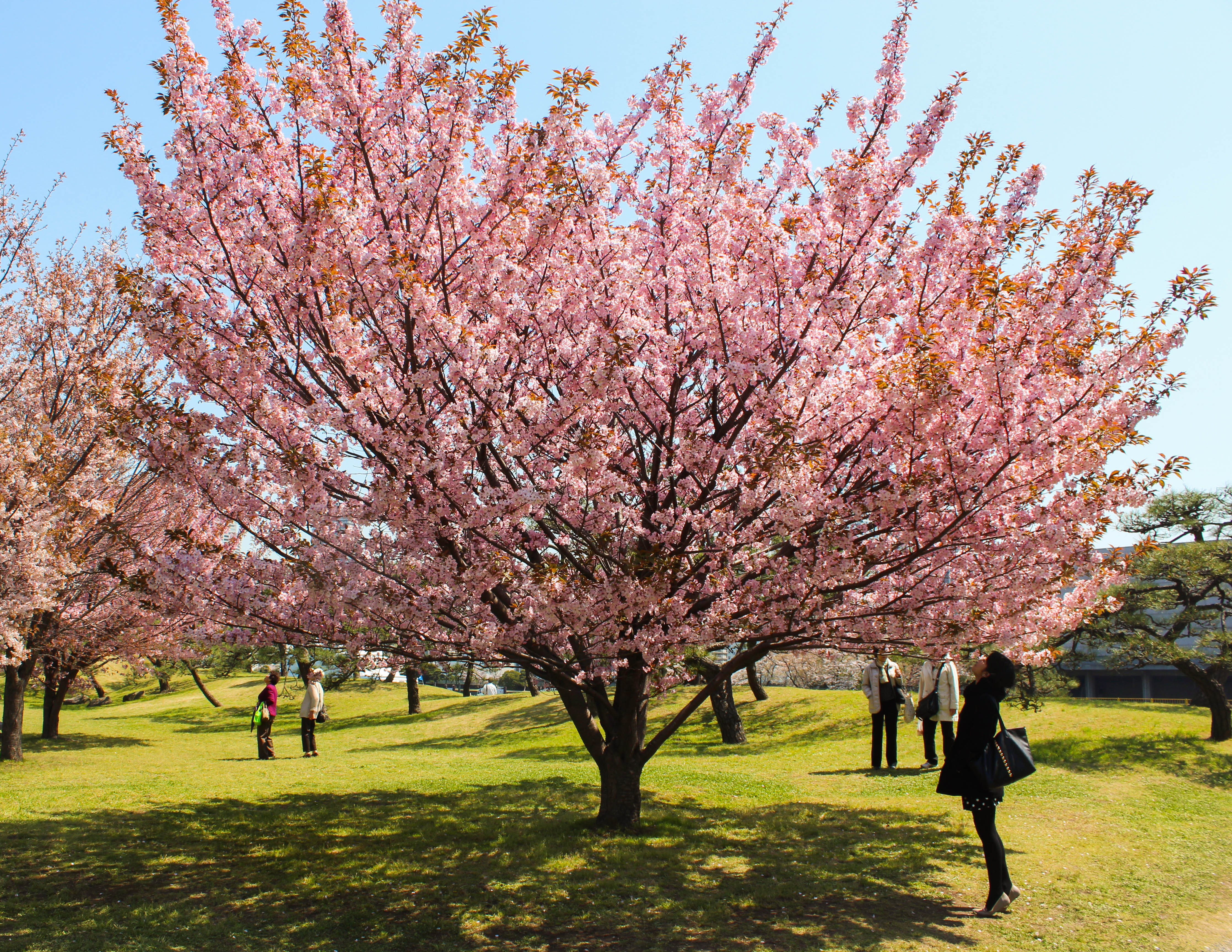 Best Hanami Spots in Japan (Cherry blossoms viewing guide ...